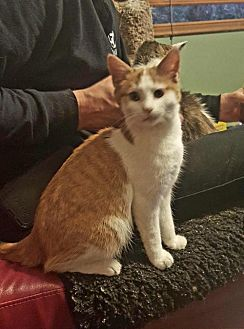 Domestic Shorthair Cat for adoption in Knoxville, Tennessee - Tom