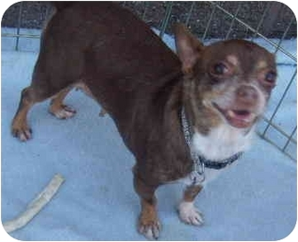 Chihuahua Dog for adoption in House Springs, Missouri - Sable