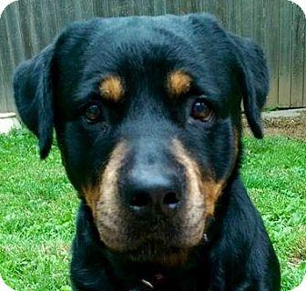 Rottweiler Dog for adoption in Hockessin, Delaware - Ava