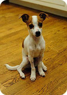Chihuahua/Rat Terrier Mix Puppy for adoption in Brattleboro, Vermont - Putt Putt
