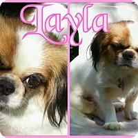 Adopt A Pet :: Layla - Tampa, FL