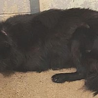 Flat-Coated Retriever Dog for adoption in New York, New York - Maggie G.