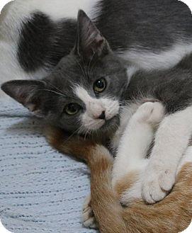 Domestic Shorthair Kitten for adoption in cupertino, California - Swisher $50.00