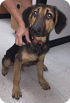 German Shepherd Dog/Hound (Unknown Type) Mix Dog for adoption in Livonia, Michigan - Sammy-ADOPTED