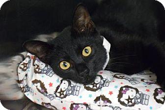 Domestic Shorthair Kitten for adoption in Bradenton, Florida - TJ