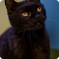 Adopt A Pet :: Dandy Lion - Indianapolis, IN