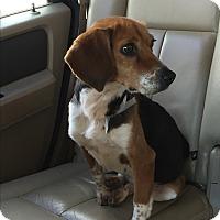 Adopt A Pet :: Petunia - Greenville, SC