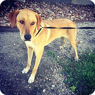 Labrador Retriever Mix Dog for adoption in Portland, Oregon - Vance