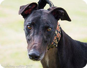 Greyhound Dog for adoption in Carol Stream, Illinois - Im A Jewel (Jay)