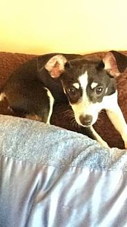 Miniature Pinscher/Terrier (Unknown Type, Small) Mix Puppy for adoption in Lomita, California - Jimmy