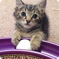 Adopt A Pet :: Tiger - La puente, CA