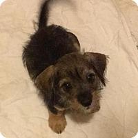Adopt A Pet :: Melanie - McKinney, TX