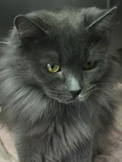 Domestic Longhair/Domestic Shorthair Mix Cat for adoption in Wellsville, New York - Brie