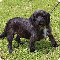 Adopt A Pet :: Sophie - Smithtown, NY