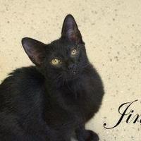 Adopt A Pet :: Jinx - Middleburg, FL