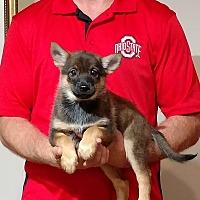 Adopt A Pet :: Tasha - Gahanna, OH