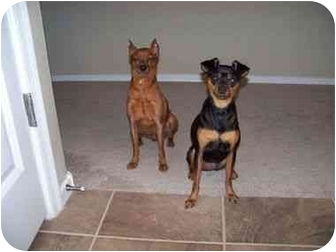 Miniature Pinscher Dog for adoption in Phoenix, Arizona - George and Daisy