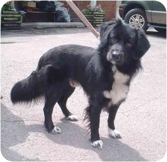 Samoyed Mix Dog for adoption in Honesdale, Pennsylvania - Oreo