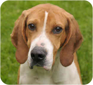 Foxhound Dog for adoption in Chicago, Illinois - Badger