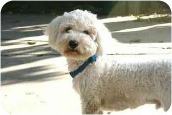 Bichon Frise/Poodle (Miniature) Mix Dog for adoption in Sherman Oaks, California - YUKI