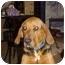 Photo 4 - Bloodhound/Beagle Mix Dog for adoption in Buffalo, New York - Inga: SPONSORED