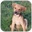 Photo 3 - Rottweiler/Labrador Retriever Mix Puppy for adoption in Glastonbury, Connecticut - Mattie