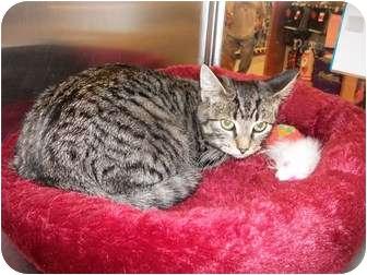 Domestic Shorthair Kitten for adoption in Cedar Creek, Texas - Reux