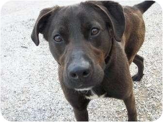 Labrador Retriever Mix Dog for adoption in Paris, Illinois - Rocky