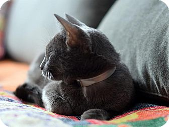 Russian Blue Cat for adoption in Brooklyn, New York - Smokey