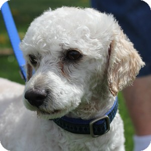 Bichon Frise/Poodle (Standard) Mix Dog for adoption in La Costa, California - Ziggy