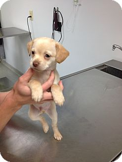 Chihuahua Mix Puppy for adoption in Franklin, Indiana - Natsu
