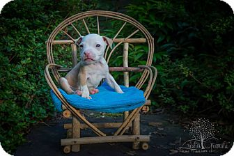 Pit Bull Terrier Mix Puppy for adoption in Southampton, Pennsylvania - Bacardi