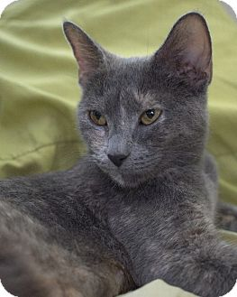 Domestic Shorthair Cat for adoption in Rochester, New York - Bonita
