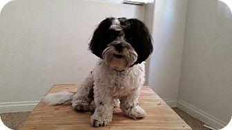 Shih Tzu Mix Dog for adoption in Las Vegas, Nevada - Dash
