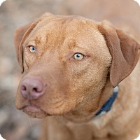 Adopt A Pet :: Gage - Lewisville, IN