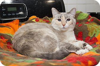 Domestic Shorthair Cat for adoption in Chicago, Illinois - Princess Grace