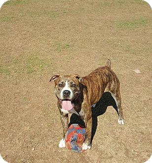 Boxer/Bulldog Mix Dog for adoption in bridgeport, Connecticut - Delilah