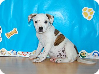 Australian Cattle Dog Mix Puppy for adoption in North Judson, Indiana - Paige