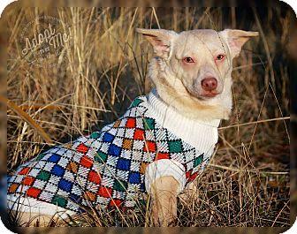 Dachshund/Chihuahua Mix Dog for adoption in Biddeford, Maine - Higgins