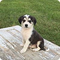 Adopt A Pet :: Jersey - Russellville, KY