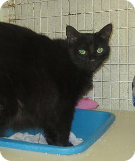 Domestic Mediumhair Cat for adoption in Elizabeth City, North Carolina - Pippy