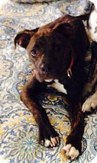 Presa Canario Mix Puppy for adoption in Romeoville, Illinois - Ireland