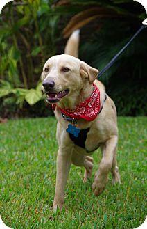 Labrador Retriever Mix Dog for adoption in Emumclaw, Washington - HAPPY SUNDANCE!