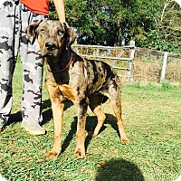 Adopt A Pet :: Chasity - Dumfries, VA