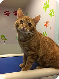 Domestic Shorthair Cat for adoption in Beatrice, Nebraska - Honey Bun