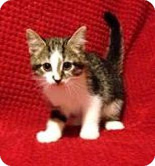 Domestic Shorthair Kitten for adoption in Woodstock, Ontario - Moxie