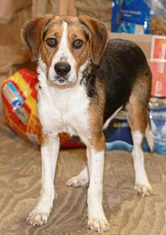 Beagle Dog for adoption in Rossville, Tennessee - Sprig