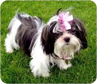 Shih Tzu Puppy for adoption in Los Angeles, California - BELL
