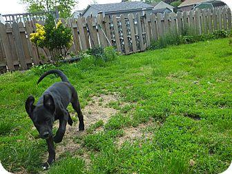Labrador Retriever Mix Puppy for adoption in Mantua, New Jersey - Hennessey