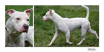 Staffordshire Bull Terrier Mix Dog for adoption in Batavia, Ohio - Jaden